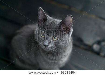 Grey kitten on dark background. Cute grey kitty looking to the side. This adorable domestic pet has a beautiful soft grey fur coat. The small young cat is sitting on a dark wooden background.