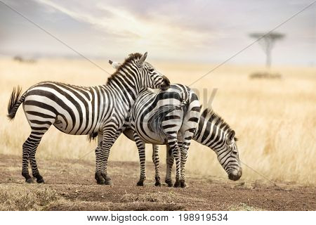 A trio of Grevys zebra in the grasslands of the Masai Mara at dusk, with an acacia tree on the horizon.