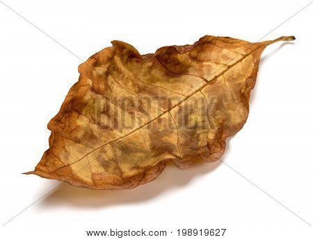 Autumn Dry Leaf Of Walnut Tree