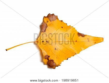 Autumn Yellow Leaf Of Poplar Isolated On White Background