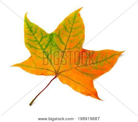 Autumn Orange Maple Leaf With Green Streaks