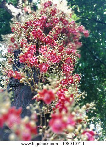 Palla di cannone. Couroupita guianensis on Natural background