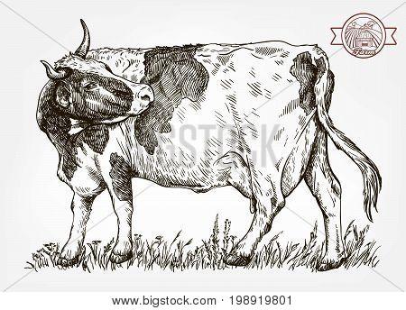 breeding cow. grazing cattle. animal husbandry. livestock. vector sketch on a grey background