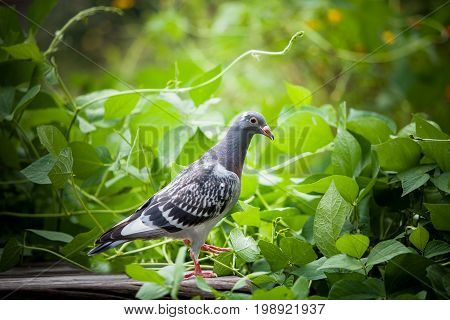young homing pigeon bird on ground with green peanut plant background