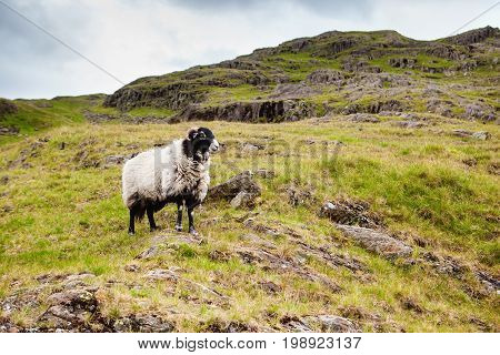 Rural landscapes in Lake District National Park, England, sheep, mountains on the background, selective focus