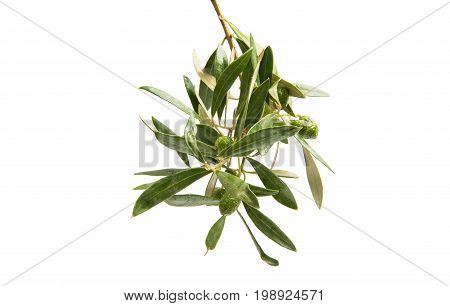 Branch with green olives isolated on white background