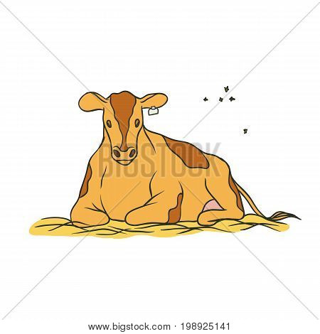 Vector sketch coloured isolated illustration farm animal. Young red spotted cow with a tag on the ear lying on the hay and chews the grass, flying around it flies. The production of milk and beef
