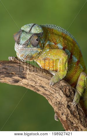 three quarter portrait of a panther chameleon on a branch staring forward in upright vertical format against a green background with text space