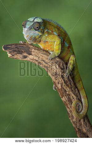 Full length portrait of a panther chameleon with a curl tail on a branch staring forward in upright vertical format against a green background with text space