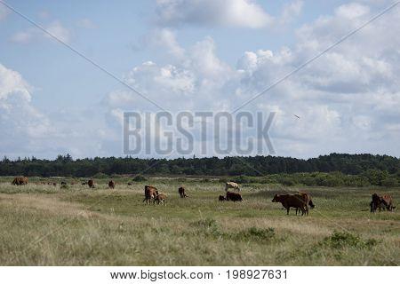 A herd of free range cows on green pasture farmland in rural Laesoe island Denmark.