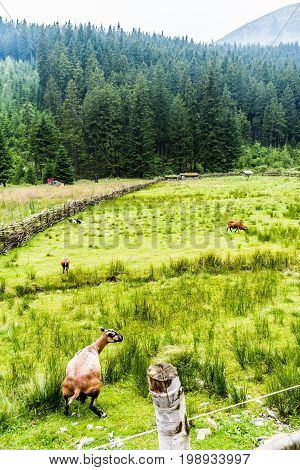 Green Pasture For Sheep High In The Mountains