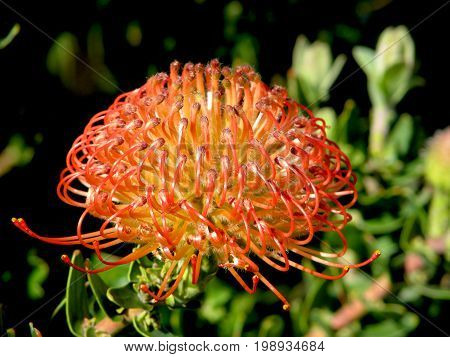 Pincushion Protea or Leucospermum is a genus of about 50 species of flowering plants in the family Proteaceae, native to Zimbabwe and South Africa 36vh