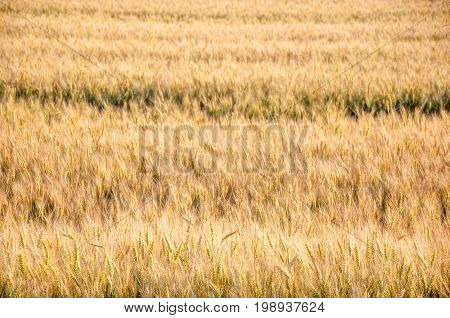 Barley Fiels With Green Seeds In The Spikes