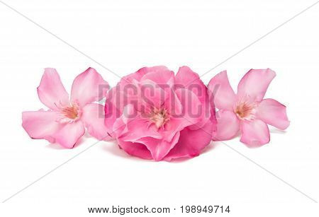 Pink oleander flower isolated on white background