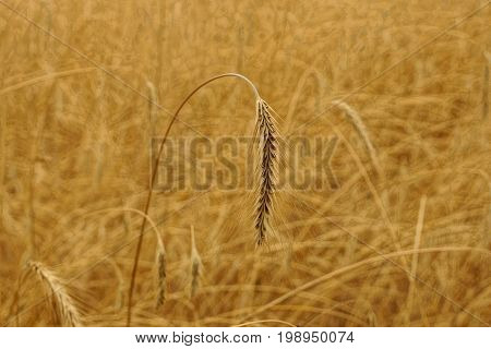 Gray wheat spike on the field on a summer day