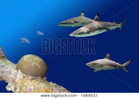 Blacktip Reef Sharks (Carcharhinus melanopterus) swimming over tropical coral reef. poster