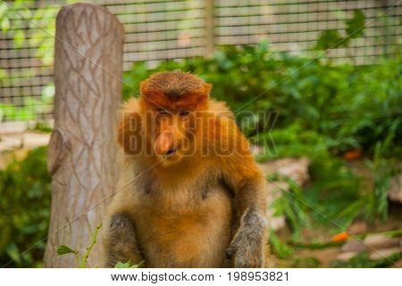 Proboscis Monkey Nasalis Larvatus Endemic Of Borneo. Male Portrait With A Huge Nose.