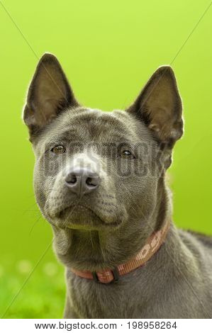 Staffordshire Terrier in the rack, green background. Space under the text. 2018 year of the dog in the eastern calendar Concept: parodist dogs, dog friend of man, true friends, rescuers.