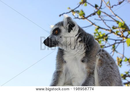 Lemur in a tree looks motionless at the zoo