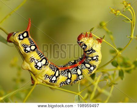 Closeup caterpillar of Spurge hawk moth (Hyles euphorbiae) eats the plant Euphorbia stepposa