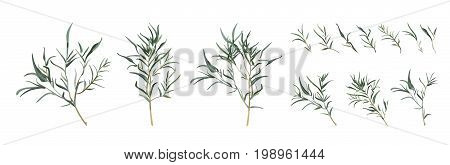 Eucalyptus willow tree designer art different foliage natural branches leaves tropical elements in watercolor style set collection. Vector decorative beautiful various elegant illustration for design