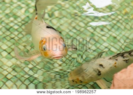 White goldfish floating in the pool closeup