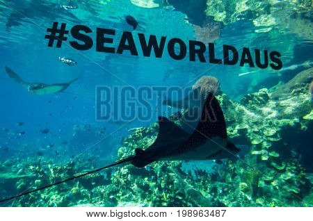 Gold Coast, Australia - July 11, 2017: stingray in one of th aquariums at Sea World in Main Beach on the Gold Coast, a popular tourist attraction.