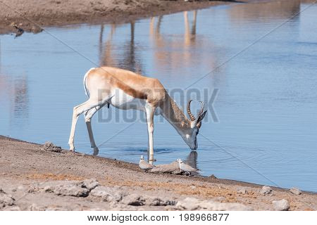 A springbok Antidorcas marsupialis drinking water and two cape turtle doves Streptopelia capicolas at a waterhole in Northern Namibia