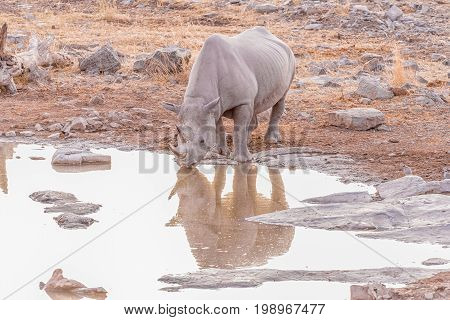 A black rhinoceros Diceros bicornis drinking water at a waterhole in Northern Namibia after sunset. Its reflection is visible on the water