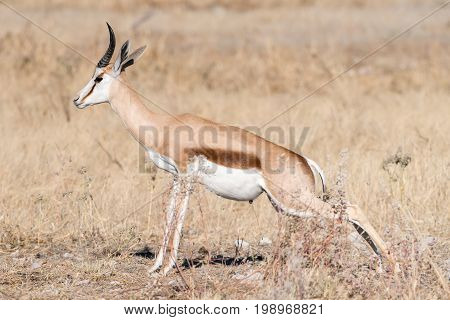 A springbok Antidorcas marsupialis urinating between grass in Northern Namibia
