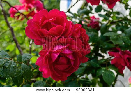 A large bush of red roses. Nature