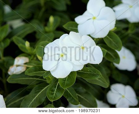 Plant of Madagascar periwinkle (Madagascar vinca) in full bloom photographed on a sunny day