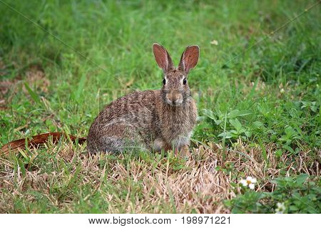 Eastern Cottontail Rabbit (Sylvilagus floridanus) Photographed in the Tampa Florida area