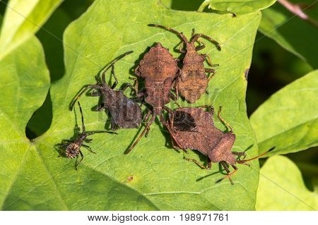 Dock bugs (Coreus marginatus) from above. Adult and various instars of nymph of squashbug in the family Coreidae