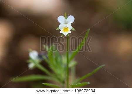 Field pansy (Viola arvensis) plant in flower. Common British arable weed in the family Violaceae with white and yellow flower on erect stem