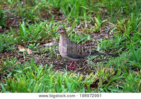 Mourning dove (Zenaida macroura) on the grass. It is a common dove across North America known also under the name Dove rain