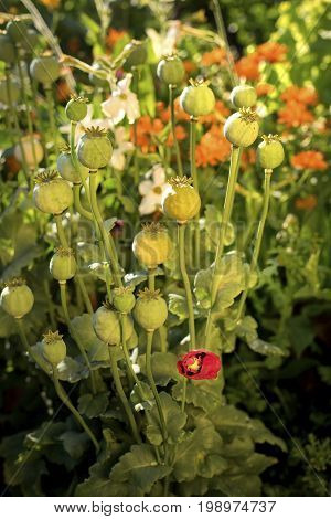 Lonesome poppy surrounded by poppy capsules and a lush vegetaion.