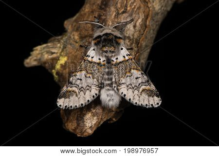 Sallow kitten moth (Furcula furcula) against black. British insect in the family Notodontidae at rest wings held partially open