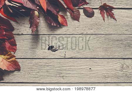 Fall season background, red rowan leaves on rustic wood background with copy space.