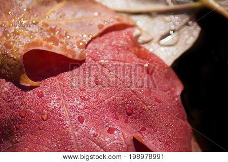Dew coating some fallen maple leaves. A lovely sign of autumn.