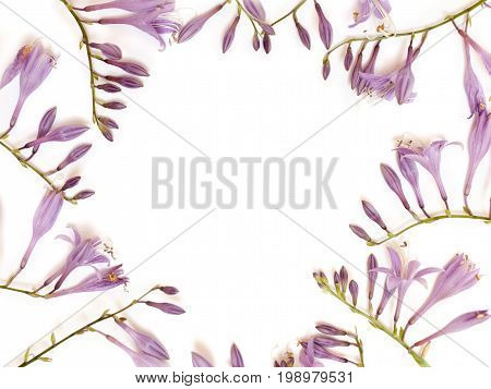Frame With Purple Hosta Flowers Isolated On White Background. Flat Lay, Overhead View