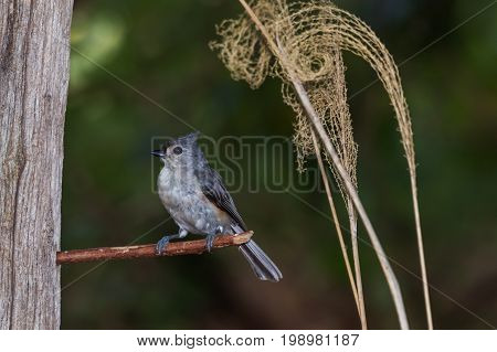 Tufted titmouse perched on a stick with dried plants in background.