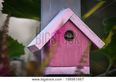 House wren peeking out of hold in pink birdhouse