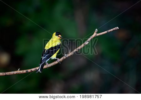 American Goldfinch perched on a tree branch.