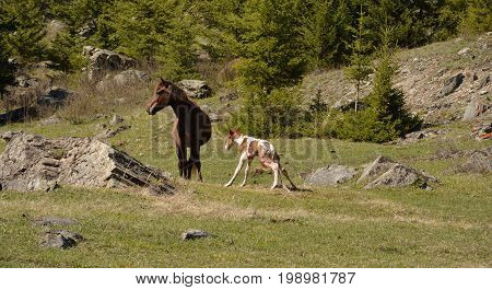 The birth of a stallion in a horse in a natural habitat. The Altai Mountains.
