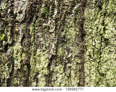 Mossy wood bark texture with cracks. Raw wood board surface. Rustic lumber close-up photo. Oak tree trunk peel with noise and grit. Natural wooden bark structure. Weathered tree bark closeup photo
