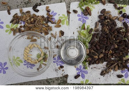 MASSA, ITALY - AUGUST 15 2015: Extracting nuts from pinecone