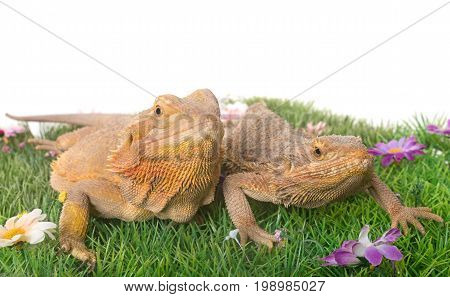 Central bearded dragon in front of white background