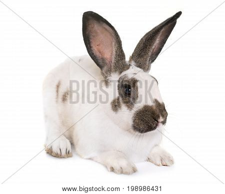 Checkered Giant rabbit in front of white background