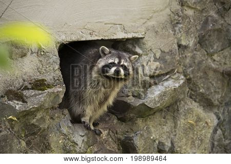 Raccoon coming out of a hole in stone wall
